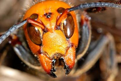 女王蜂_日本の蜂の種類 一覧と見分け方!危険な時期と刺された時の ...