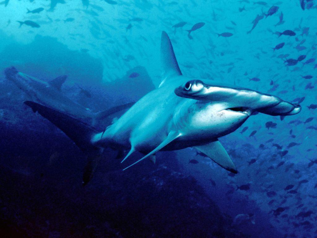 アカシュモクザメの写真