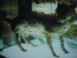 エゾオオカミのはく製の写真