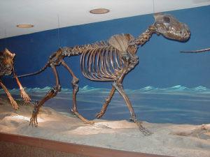 ダイアウルフの骨格標本の写真