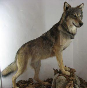 タイリクオオカミの写真