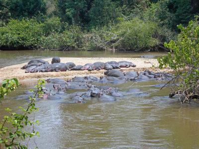 カバの群れの写真
