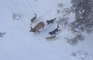 オオカミの狩りの写真