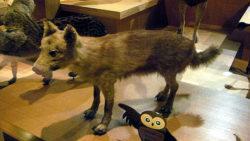 ニホンオオカミのはく製の写真
