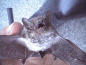 アブラコウモリの写真