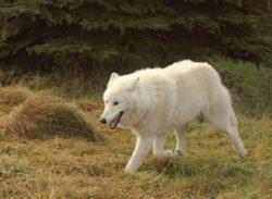 ホッキョクオオカミの写真