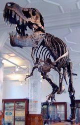 ティラノサウルス骨格標本の写真
