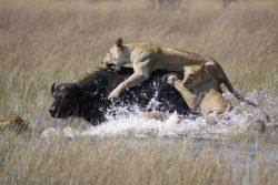 狩りをするライオンの写真