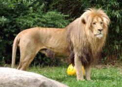 アンゴラライオンの写真