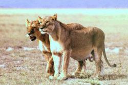 受胎したライオンの写真