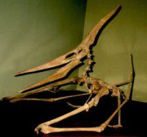 プテラノドンの標本の写真