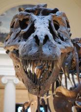 ティラノサウルスの骨格標本の写真