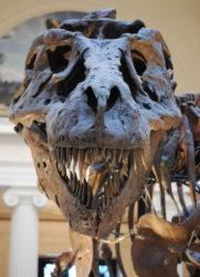 ティラノサウルスの頭蓋骨標本の写真