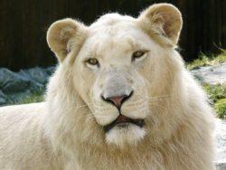 ホワイトライオンの写真