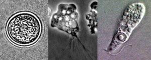 フォーラーネグレリアの写真