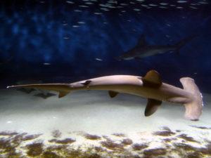 シュモクザメの写真