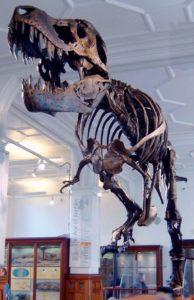 ティラノサウルスの標本の写真
