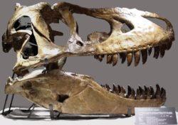 タルボサウルスの骨格の写真