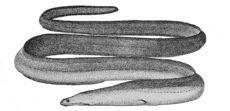 オナガウツボの写真