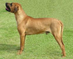 土佐犬の写真
