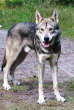 狼犬の写真