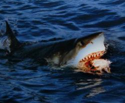 ホホジロザメの写真