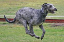 アイリッシュウルフハウンドの写真