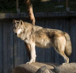 オオカミの写真