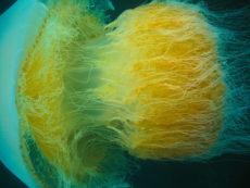 エチゼンクラゲの触手の写真