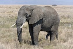 アフリカゾウの写真