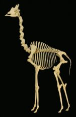 キリンの骨格標本の写真