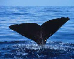 マッコウクジラの写真