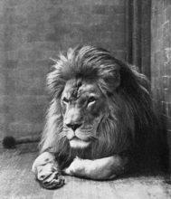 バーバリーライオンの写真