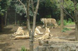 インドライオンの写真
