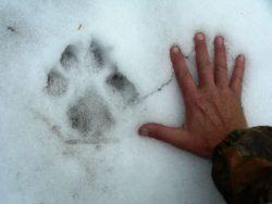 狼の足跡の写真