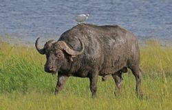 アフリカスイギュウの写真