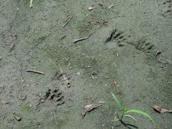 アライグマの足跡の写真