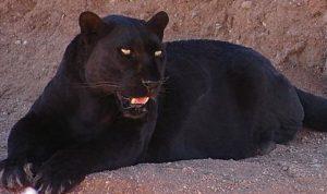黒豹の写真