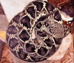 ガラガラヘビの写真