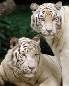 白変種のトラの写真