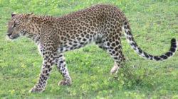 スリランカヒョウの写真