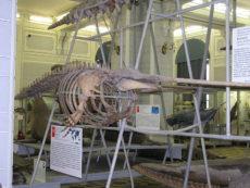 イッカクの骨格標本の写真