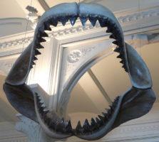 メガロドンの歯の化石の写真