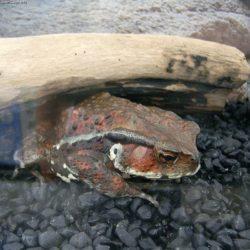 ヒキガエルの写真