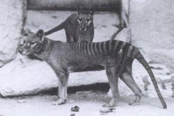 フクロオオカミの写真
