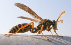 アシナガバチの写真