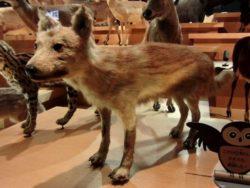 ニホンオオカミの写真