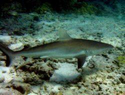 ガラパゴスザメの写真
