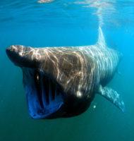 ウバザメの写真