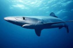 ヨシキリザメの写真
